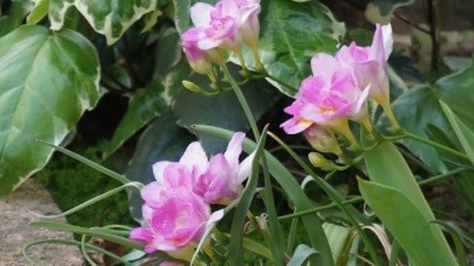 八重咲きフリージア