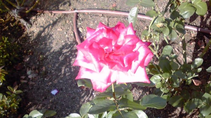 幸せを運ぶローズカラー&ホワイトカラーの薔薇♪