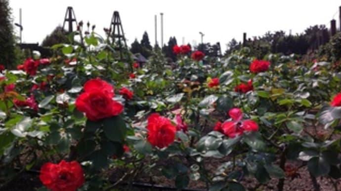 ポタリング記 浜寺公園にバラを見に。