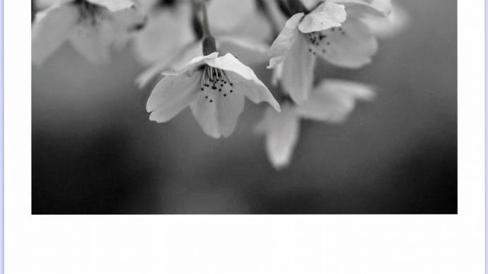 もう桜も終わる