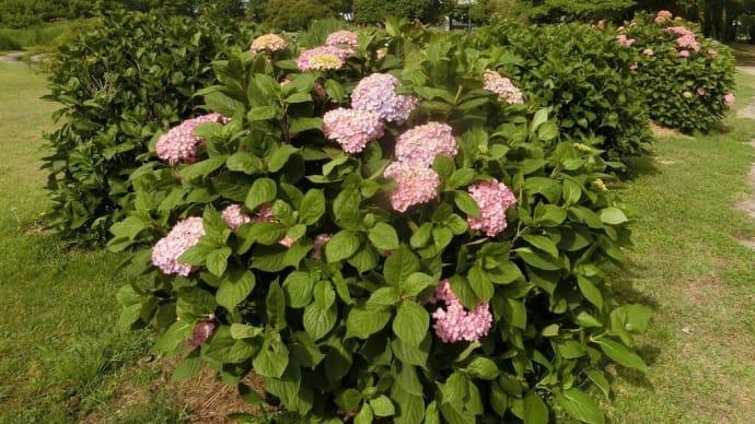 岡山総合グランド・津島遺跡の紫陽花