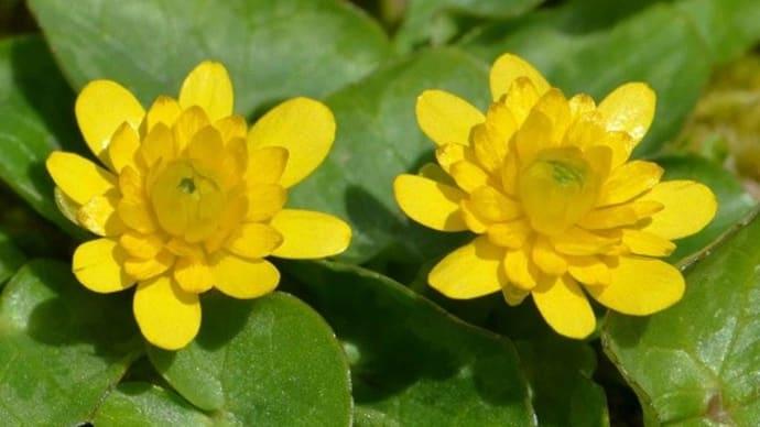 ヒメリュウキンカの花(2) 八重咲の黄花