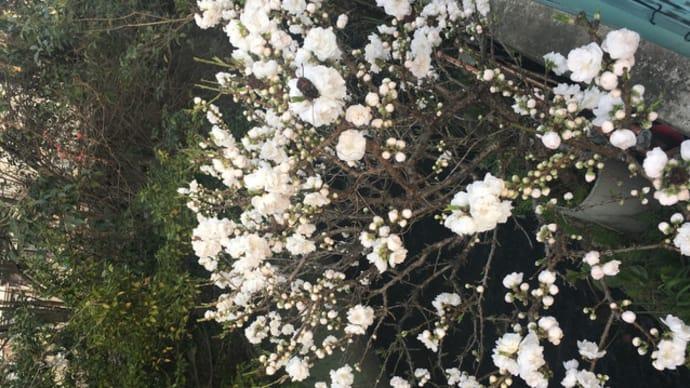 春爛漫に、、お参りの季節。三倍型マッチが人気。