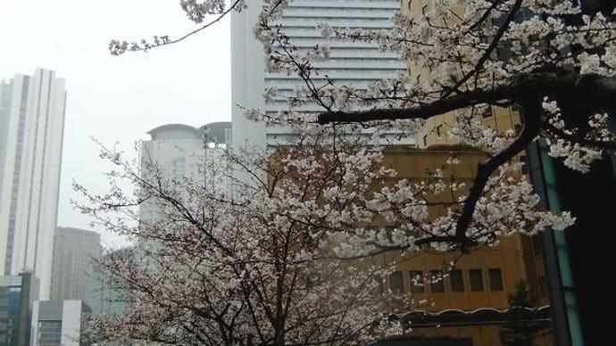 大阪マルビル付近の桜