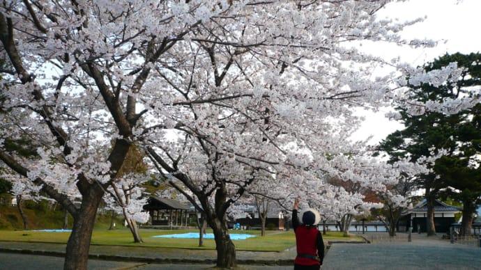 松江城山の桜