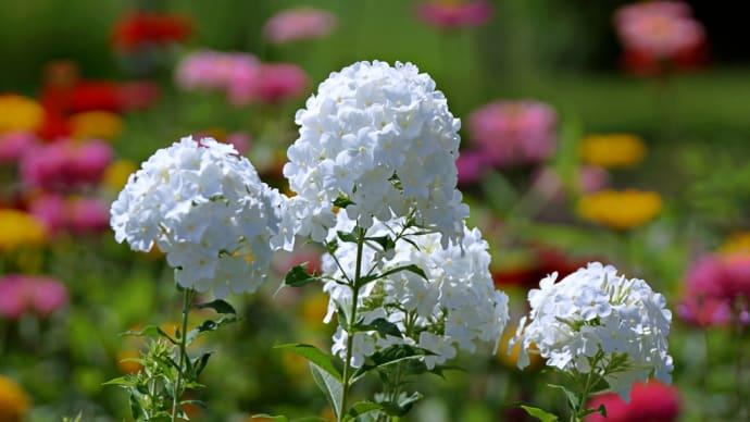 白い花 クサキョウチクトウ・ペンタス