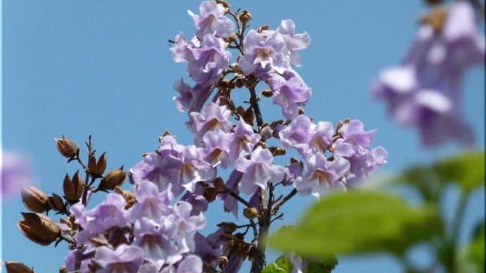 桐の花 咲きました♪