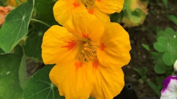 6月中旬の庭の花 ナスタチウム ビヨウヤナギ カポック 百合
