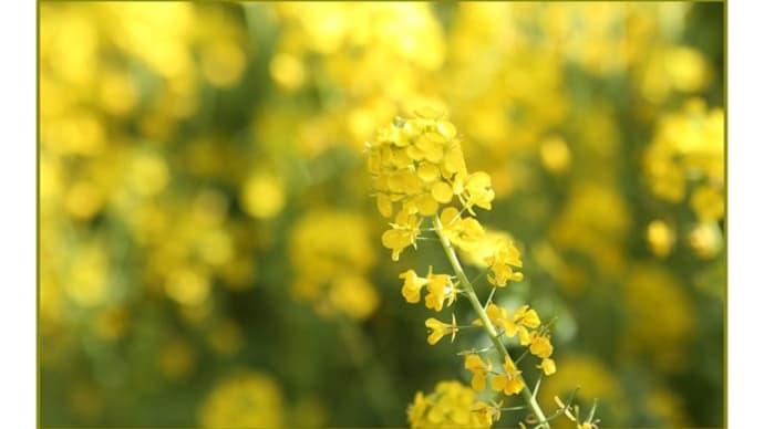 早春の草花展 第12回(京都府立植物園)