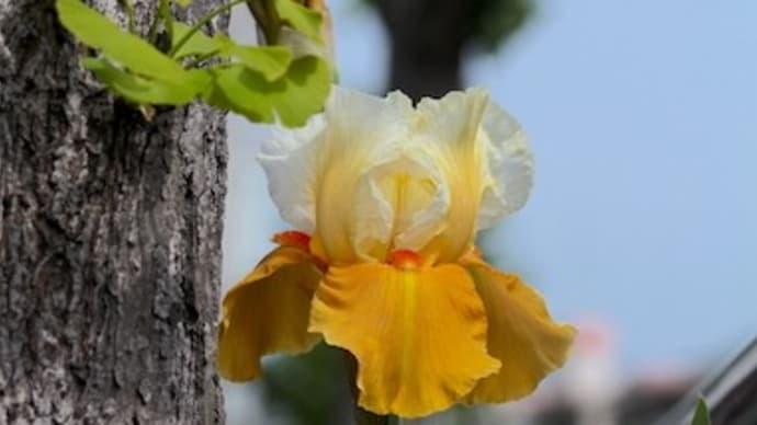 まるでイチョウが黄葉したような花の色