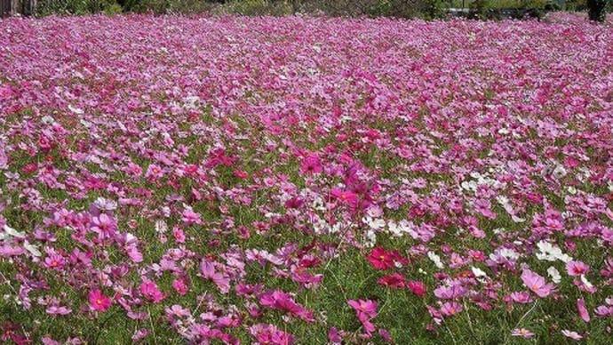 花だより『う💛佐志生~コスモス畑』♬