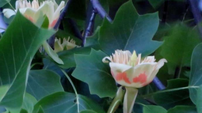 チューリップのような花をつける木 <お花で一休み(15)>