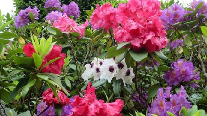 シャクナゲ 咲きそろい