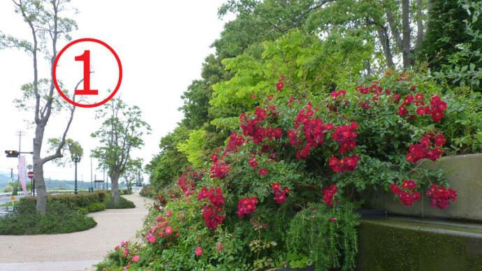 イングリッシュガーデンのバラ