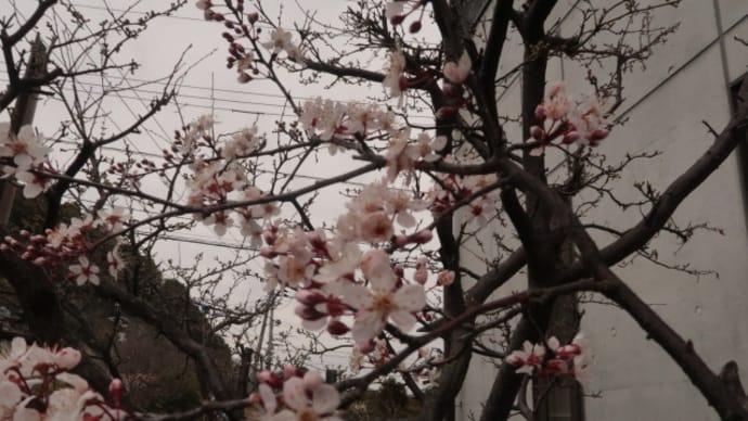すももの花が満開を迎えたが、今月からのサクラの追っかけはどうしようかな (2020/3/10)