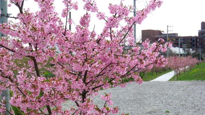 遊水地脇の河津桜が見頃