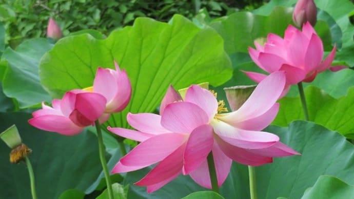 楽書き雑記「ハスが花数を増やしています=名古屋・鶴舞公園」