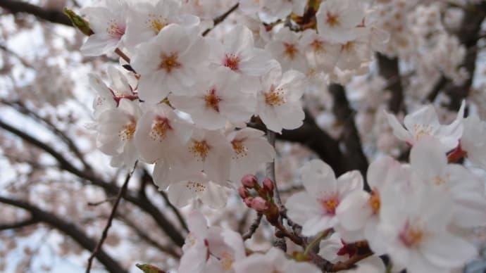 帰ってきたら桜は満開、自宅のスモモはほとんど花の終わり(2015/4/1)