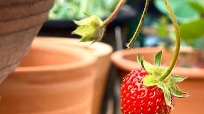 【いろいろ】譜面とイチゴ