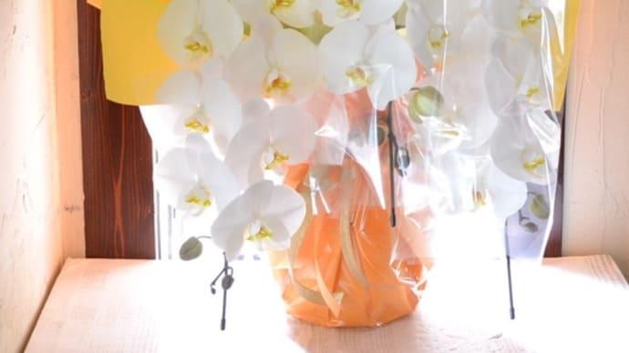 お祝いの胡蝶蘭鉢