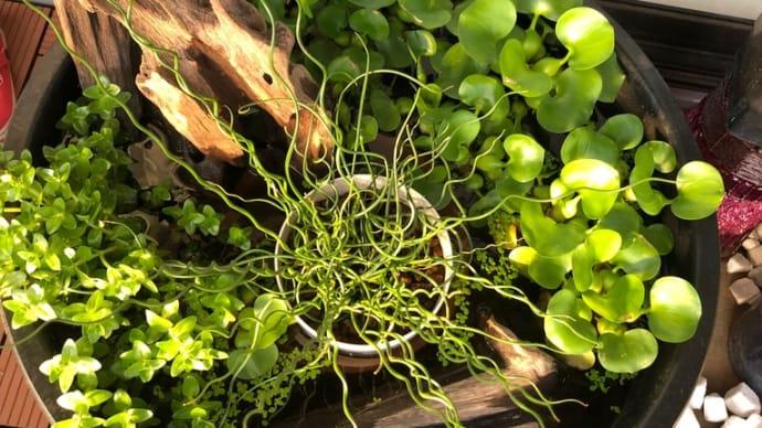 メダカビオトープとプルメリア・チランジア花芽