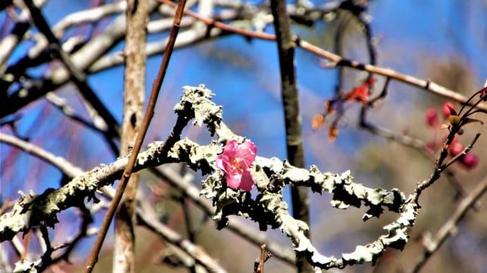 2020・1・21 鎌倉長谷の光則寺ではカイドウが咲き始めていた款冬華