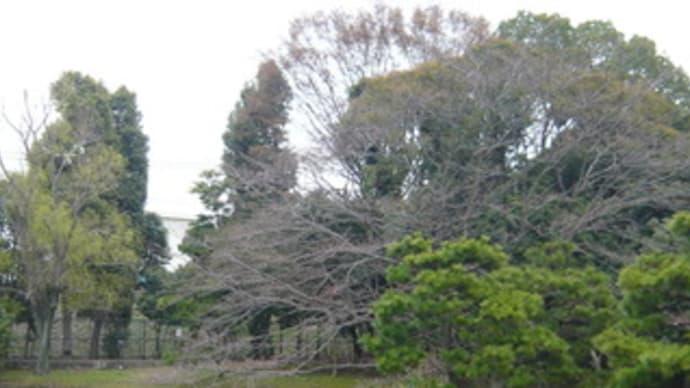 近所の桜の見所