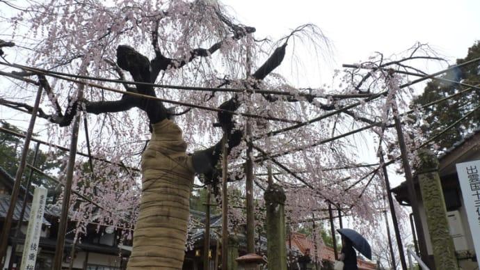 雨に咲く、千手院の枝垂桜