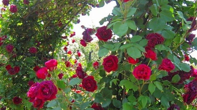 はじめての 挑戦💦薔薇の花(名入り動画)
