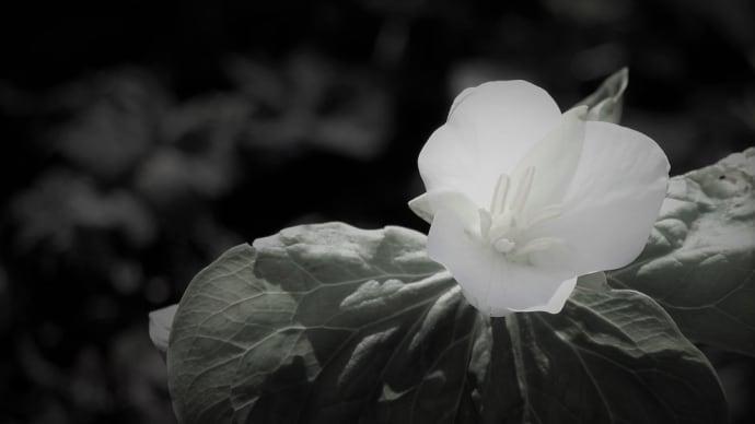 樹影の花、森の春
