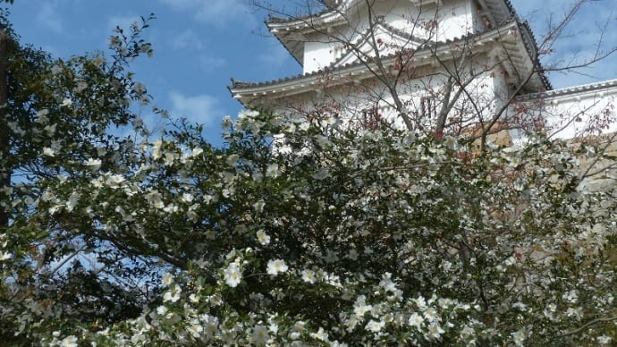 サザンカ(山茶花)
