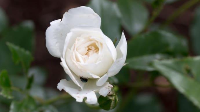 6月に咲き始めたバラたち