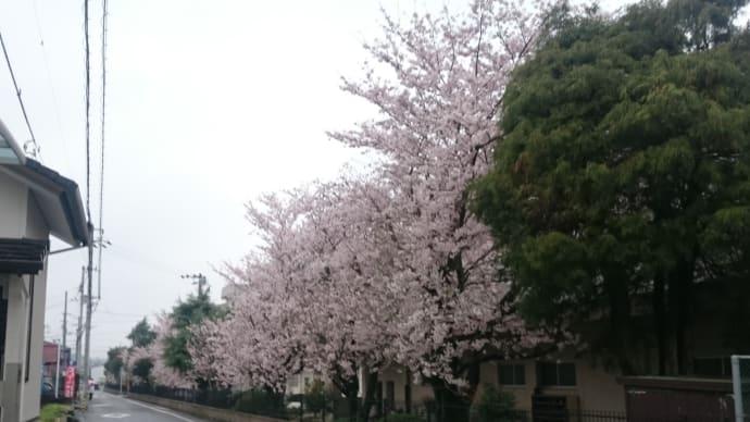 満開の桜がそろそろ