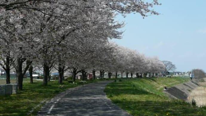 石井の桜づつみ