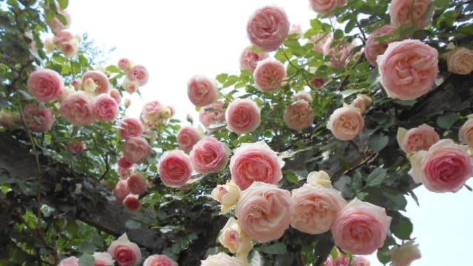 【バラ祭り(=゚ω゚)♪】