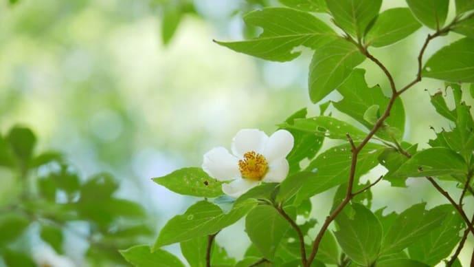 涼し気なヒメシャラの花(神戸森林植物園)