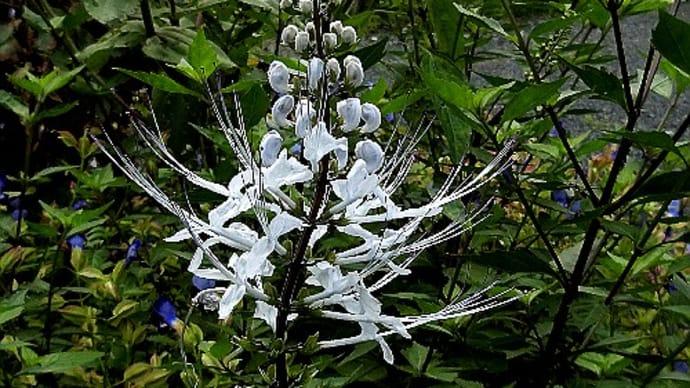 ご近所で出合った花。ネコノヒゲ、チョウセンアサガオ、ショウジョウソウ、ガウラ、バーベナ等