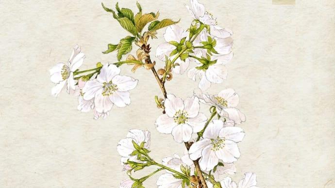 日本に自生している桜のボタニカルアート‼️