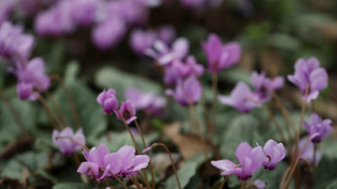 京都府立植物園に咲くハミズシクラメン
