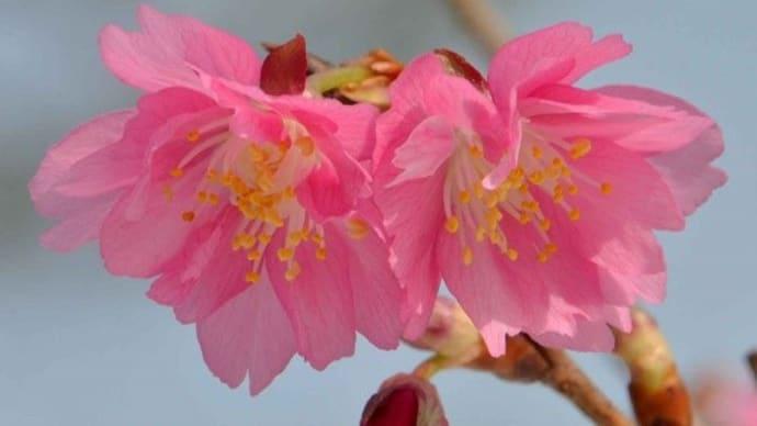鉢植えの桜~「エレガンスみゆき」-1