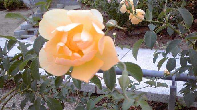 中之島バラ園、可愛らしいバラ…