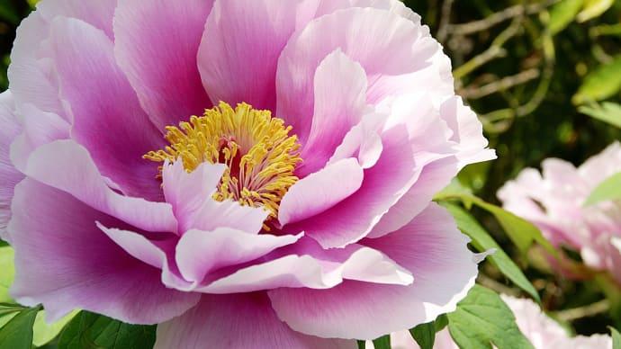 牡丹の花☆わらべ歌