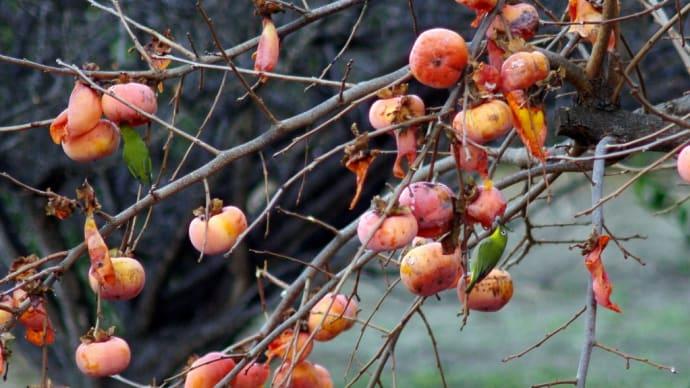 柿の木とメジロ