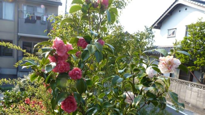 庭の椿パートⅡ
