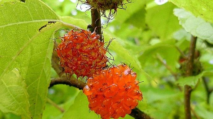 木の実が熟して食べられますが、ヒメコウゾ、クワ、モミジイチゴ、ナツグミ、