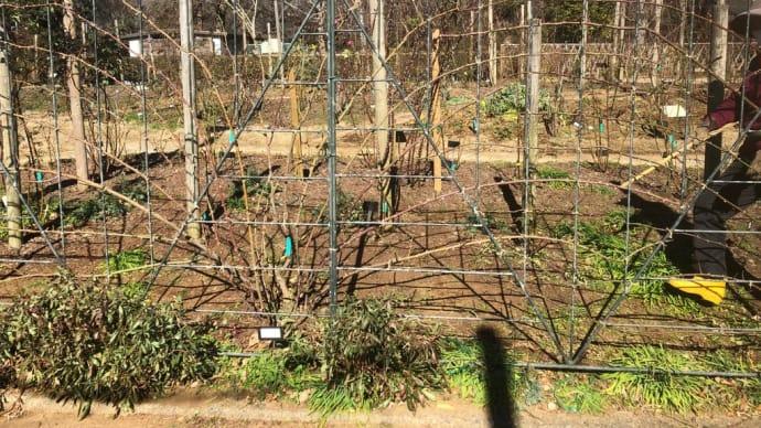 佐倉草笛の丘 バラ園🌹にて、つるバラの剪定・誘引のお勉強