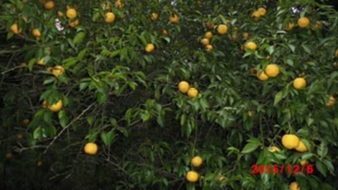 柚子の収穫。