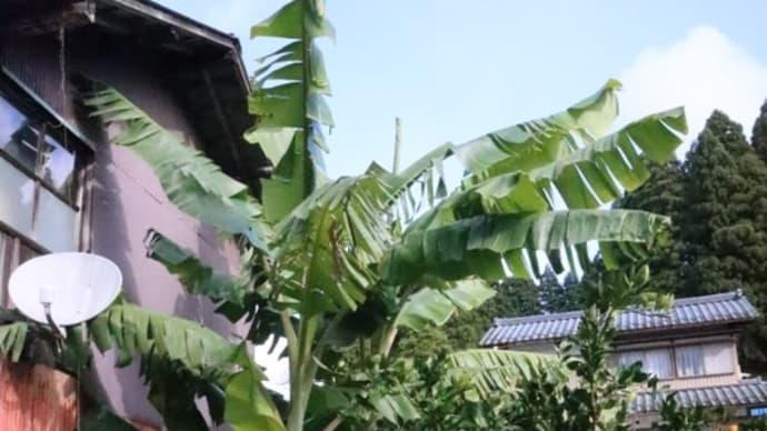 アイスクリームバナナの成長状況