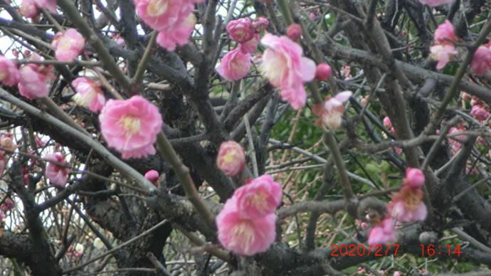 萩原天神の梅📷街角ぶらり旅02-07
