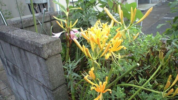 早くも「黄花彼岸花(オーレア)」が咲き始めました   画像を追加います